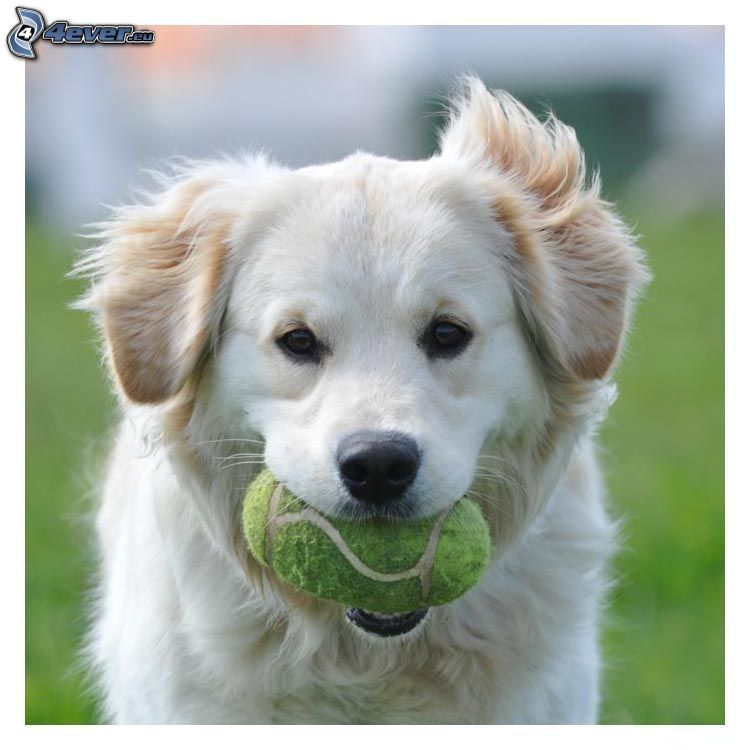 Golden Retriever, Ball