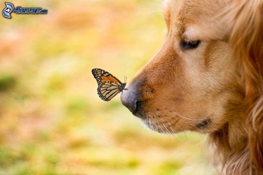 Golden Retriever, Schmetterling, Schnauze