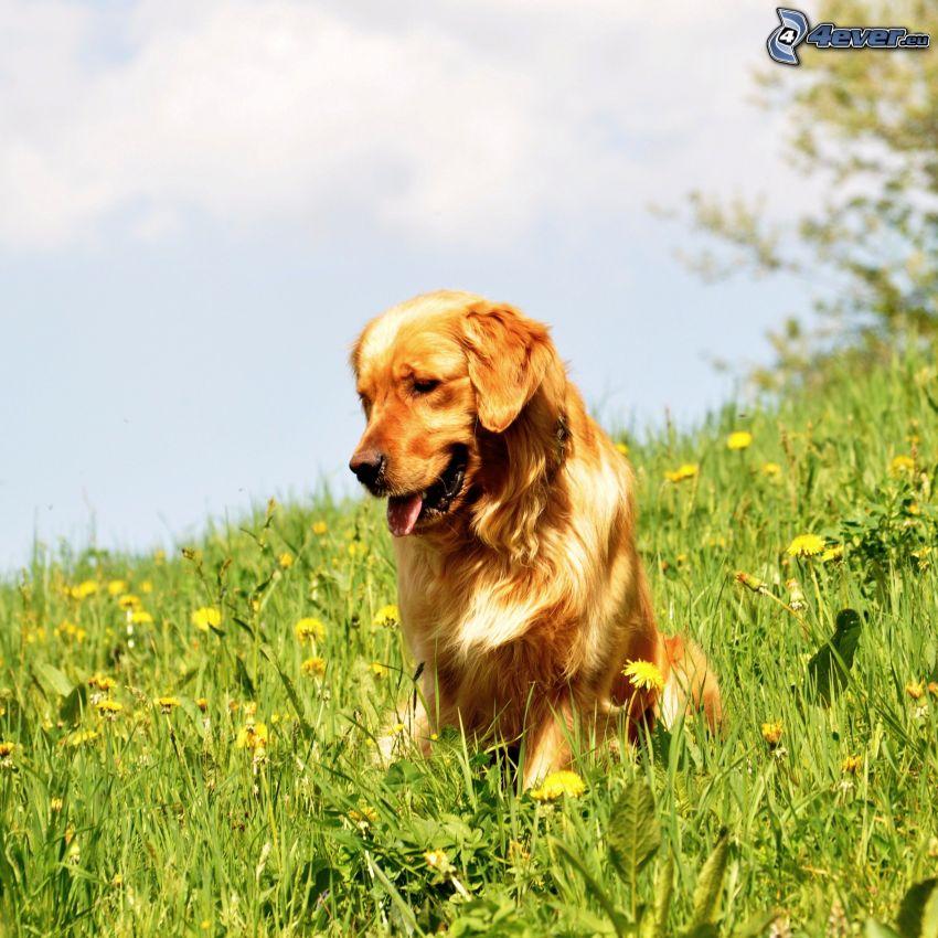 Golden Retriever, Wiese