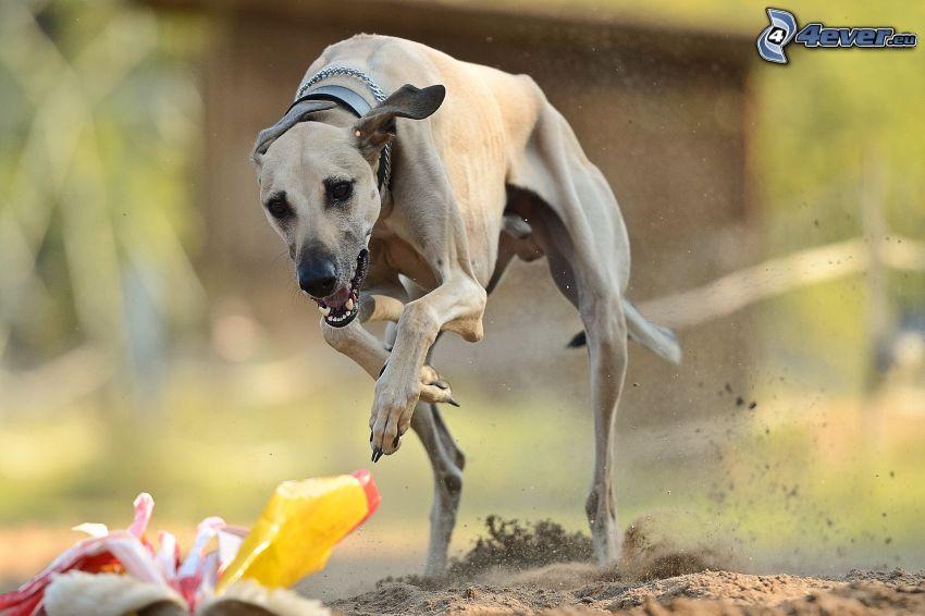 Greyhound, Laufen