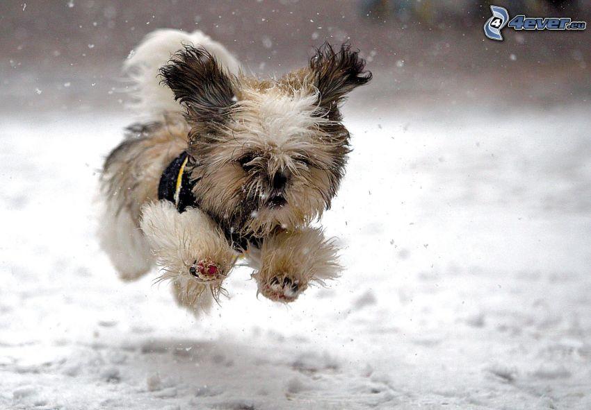haariger Yorkshire Terrier, Schnee