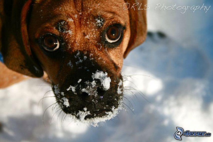 Hund, Blick, Schnee