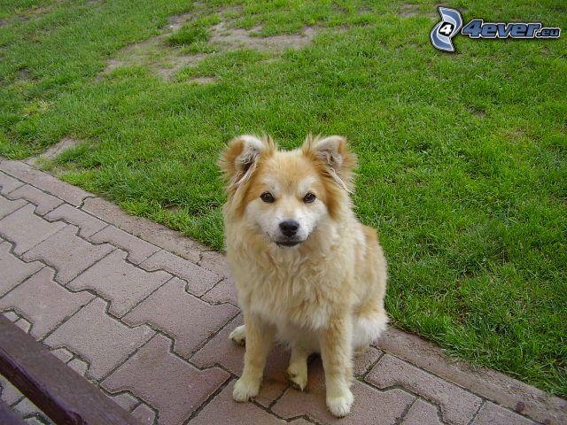 Hund, Bürgersteig, Rasen