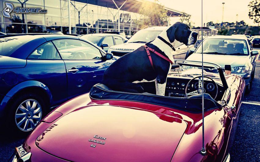 Hund, Cabrio, Jaguar