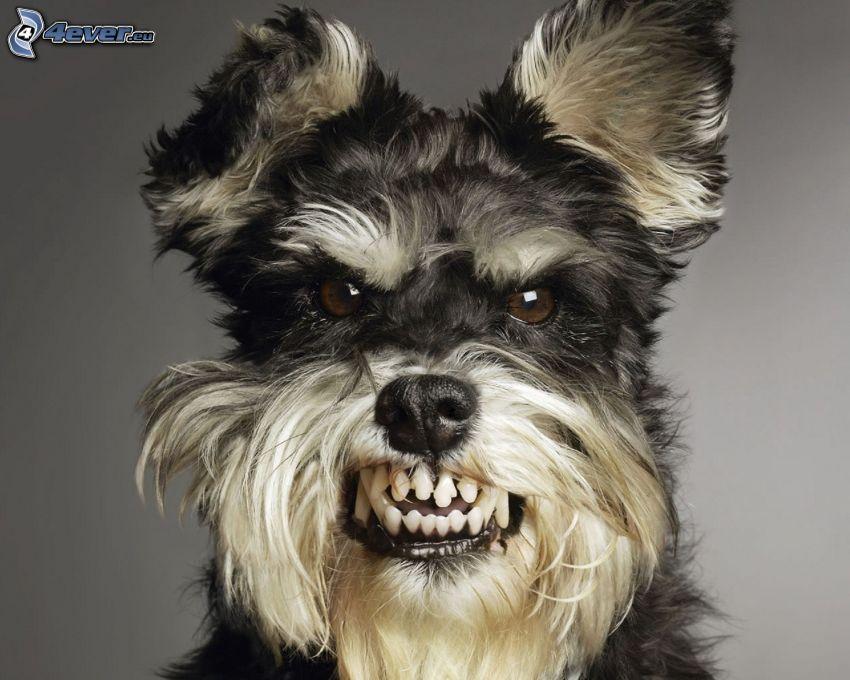 Hund, Fangzähne