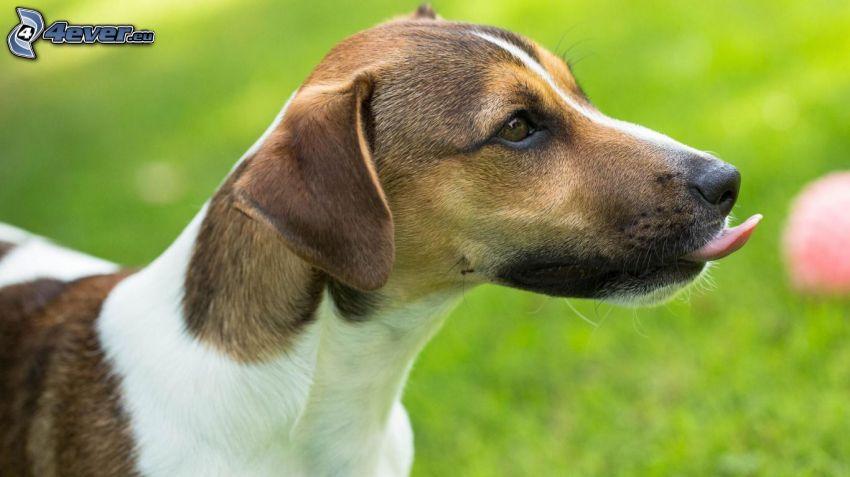 Hund, hängende Zunge