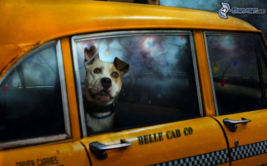 Hund, taxi