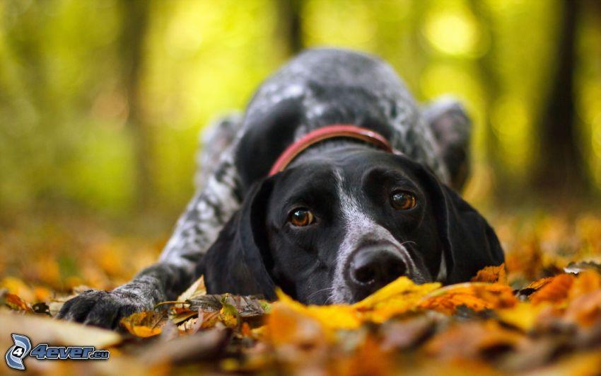 Hund, trockene Blätter