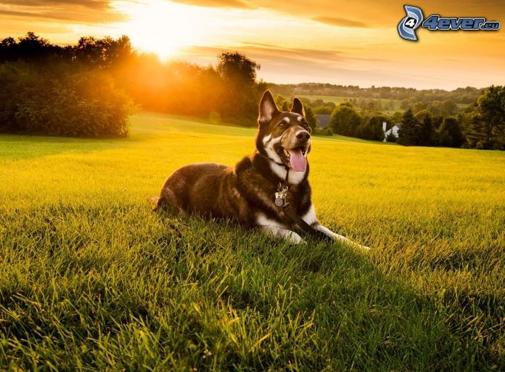 Hund auf dem Gras, Sonnenuntergang