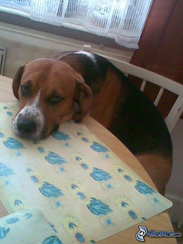 Hund hinter einem Schreibtisch