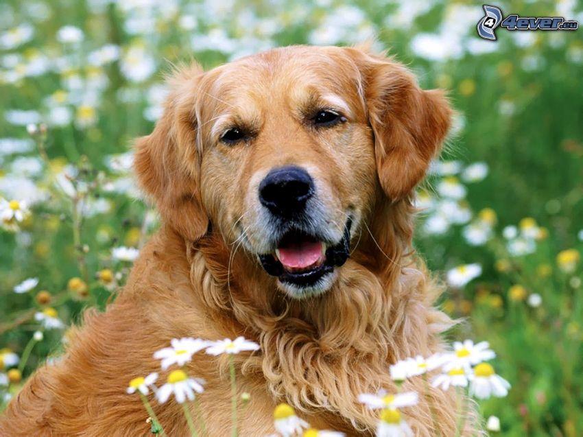 Hund im Gras, Gänseblümchen, Wiese