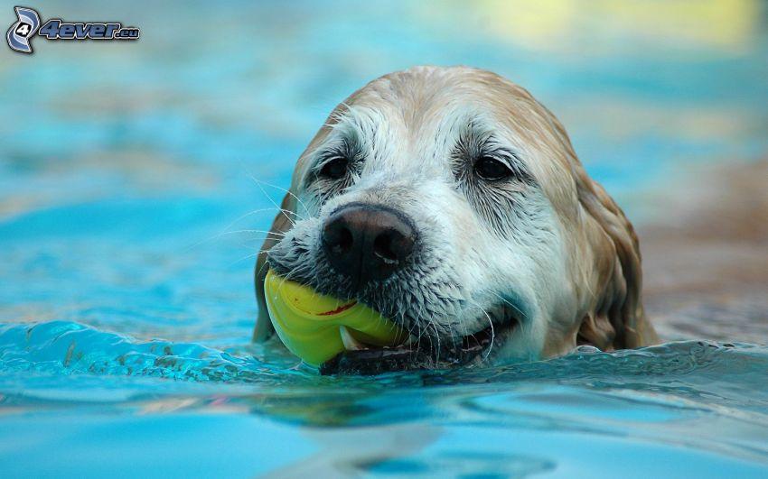 Hund im Pool, Ball