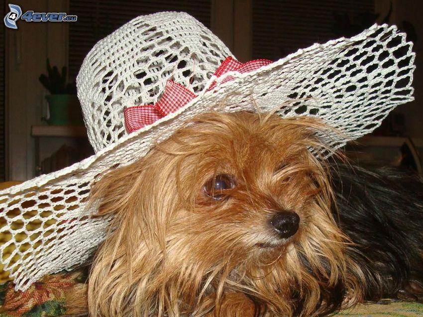 Hund mit Hut, Yorkshire Terrier