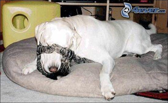 Hund und Katze, Labrador
