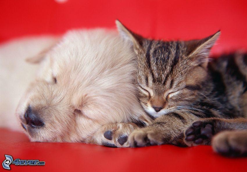 Hund und Katze, schlafender Hund, schlafende Katze, Welpe, Kätzchen
