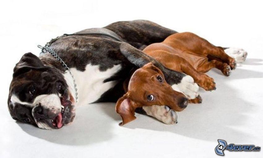 Hunde, Deutscher Boxer, Dackel