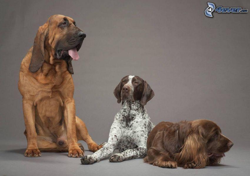 Hunde, riesiger Hund