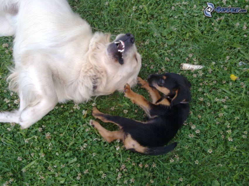 Hunde auf Gras, Golden Retriever, Dackel, Welpe