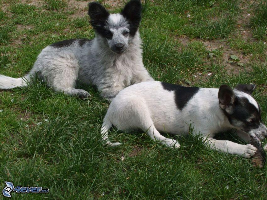 Hunde auf Gras