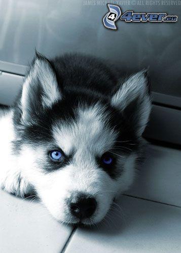 Husky Welpchen, blaue Augen
