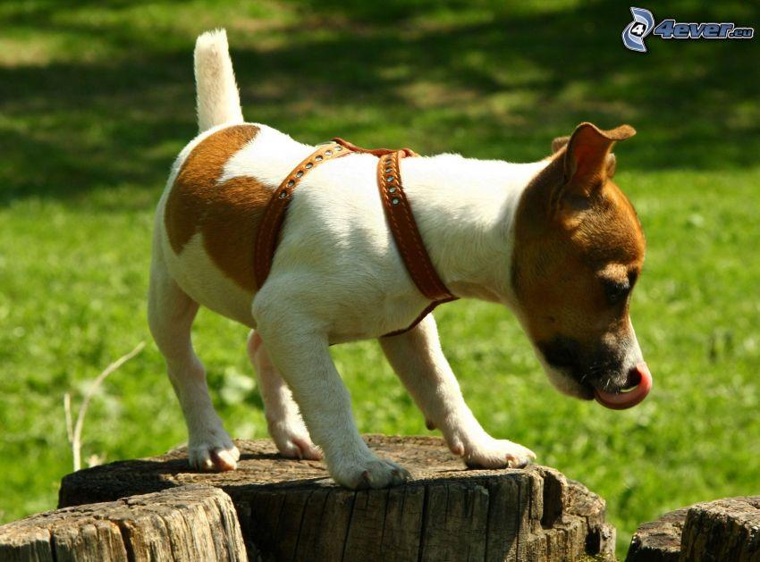 Jack Russell Terrier, hängende Zunge, Baumstümpfe