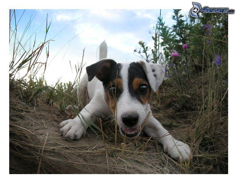Jack Russell Terrier, verspielte Welpen
