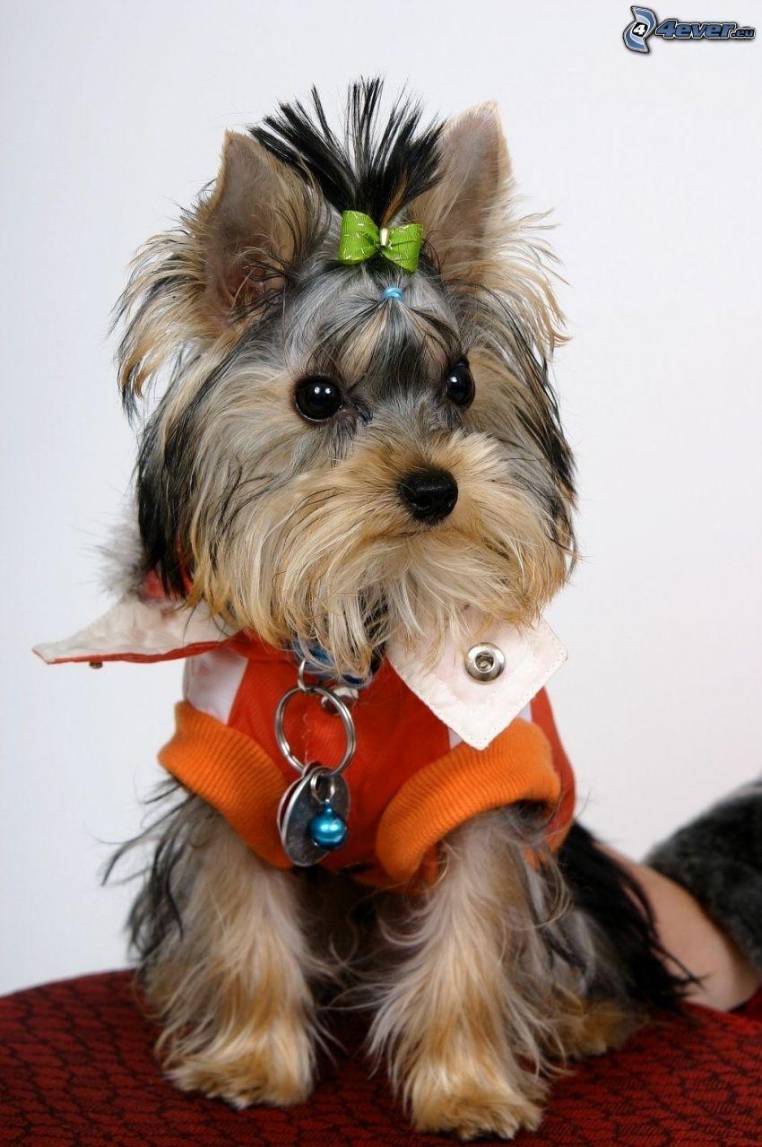 Jorkshires Terrier mit Schleife, gekleideter Hund