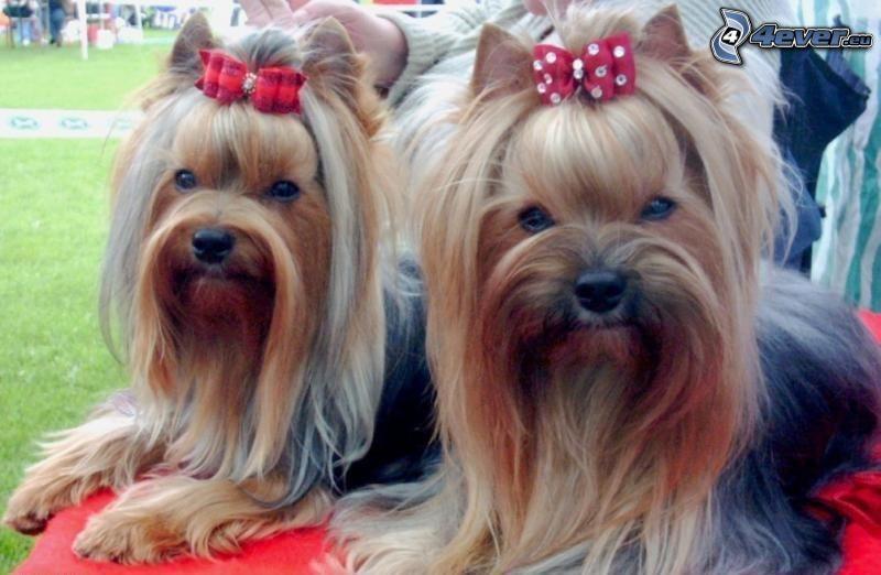 Jorkshires Terrier mit Schleife