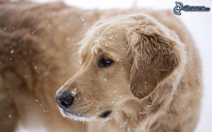 Labrador, schneefall