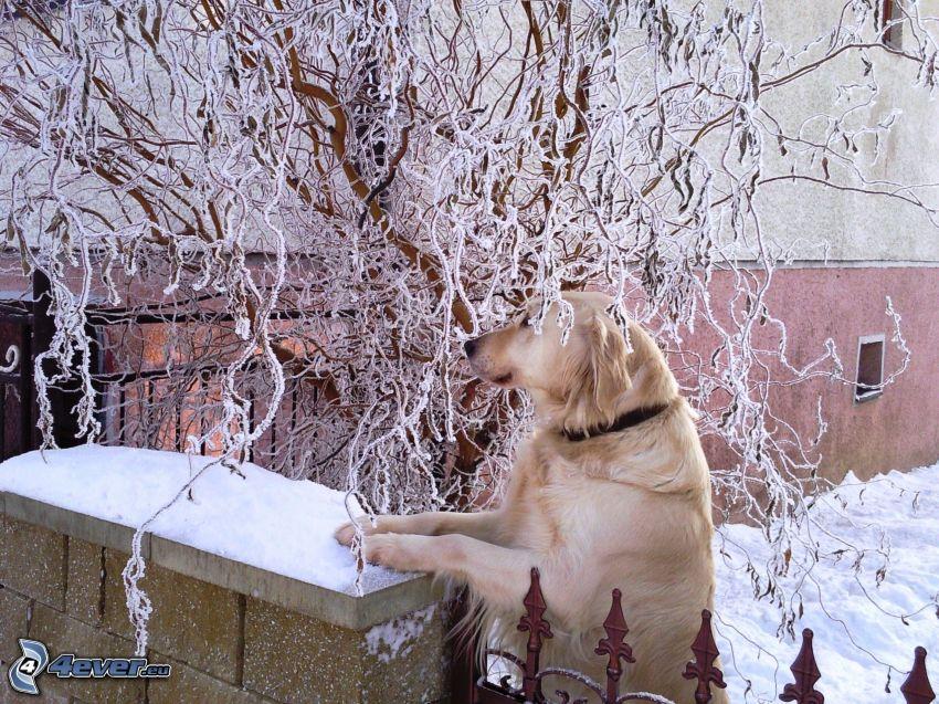 Labrador, Zaun, gefrorener Baum, Haus, Schnee
