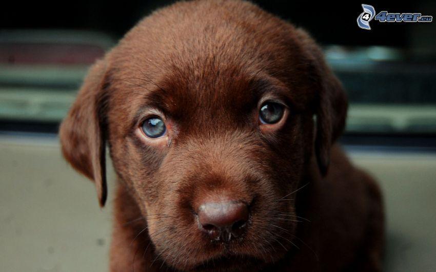 Labrador Welpe, brauner Welpe