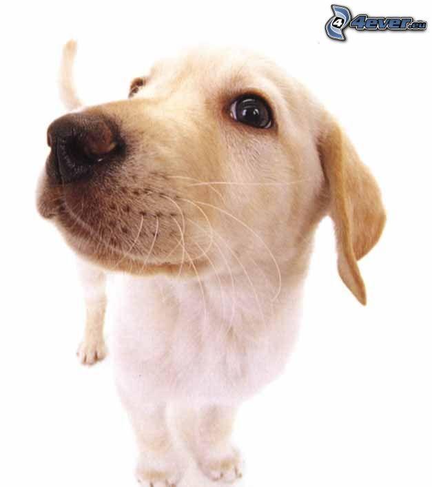 Labrador Welpe, Schnauze