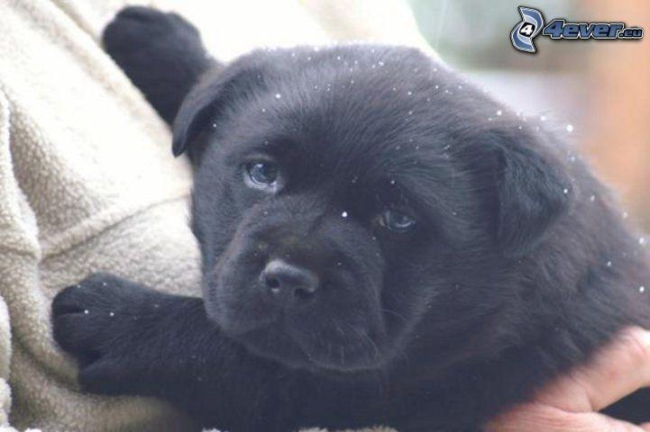 schwarzer labrador welpe