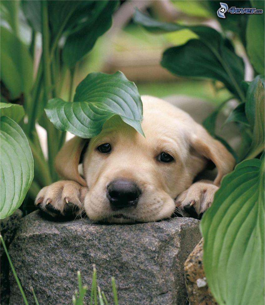 Labrador Welpe, Stein, Pflanzen