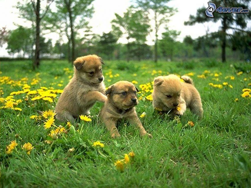 Labrador Welpen, grüne Wiese, gelbe Blumen