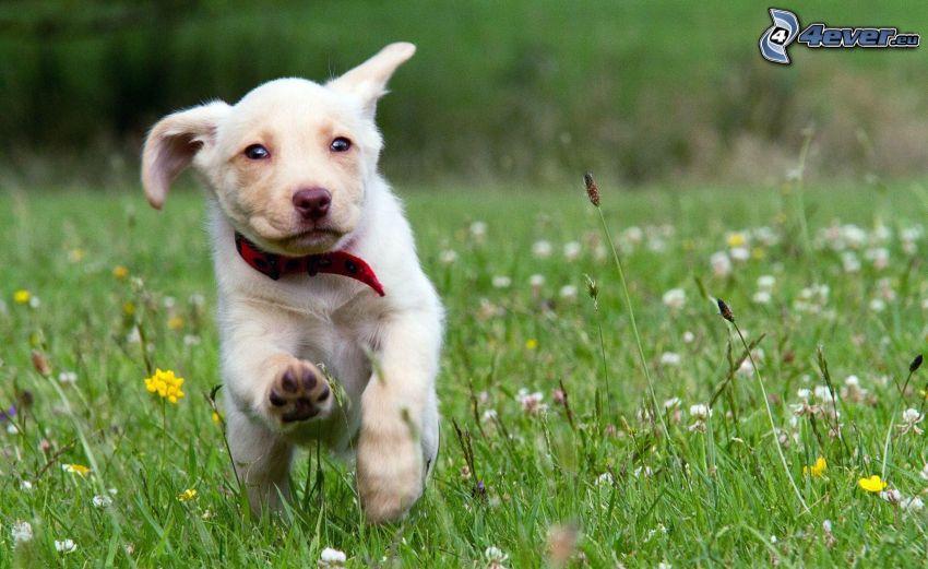 laufender Hund, Weißer Hund, Wiese