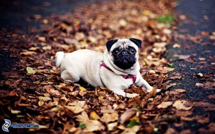 Mops, trockene Blätter