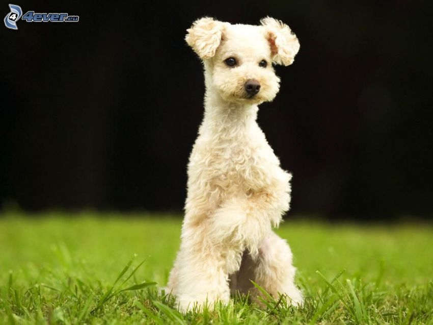 Pudel, Gras, Weißer Hund