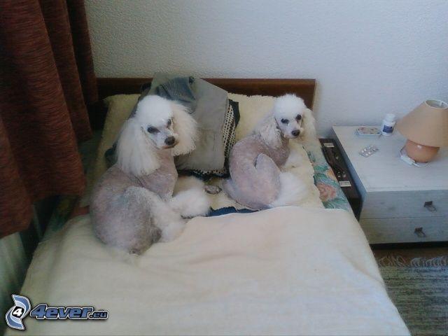 Pudel, Hund auf dem Bett, Zimmer