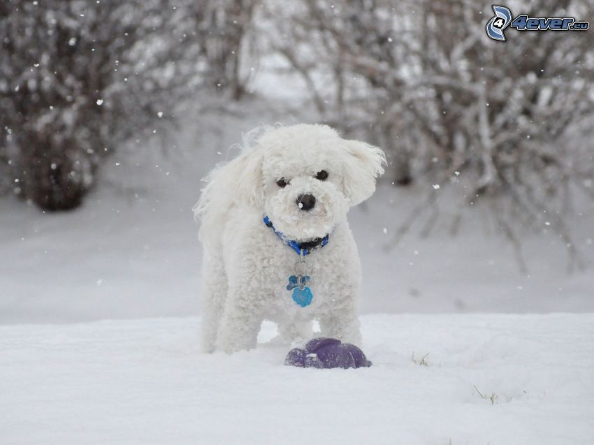 Pudel, Weißer Hund, Schnee
