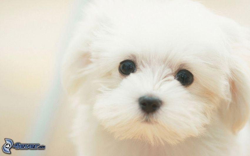 Pudel, Weißer Hund