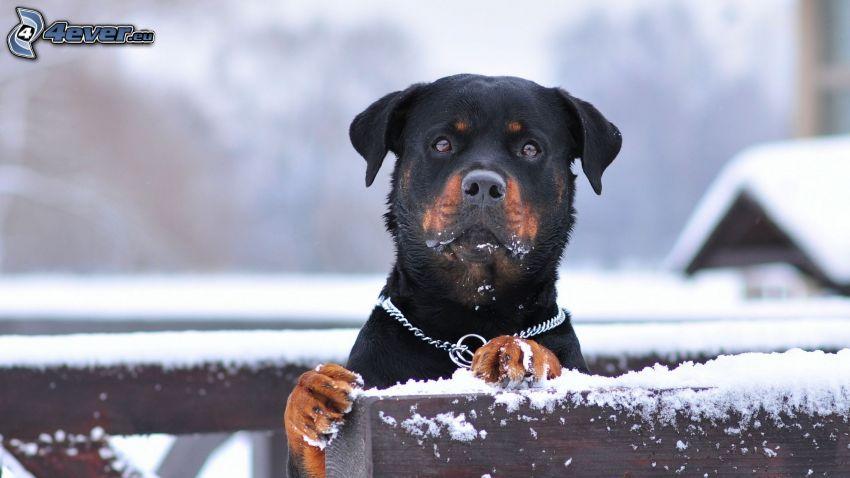 rottweiler, Schnee