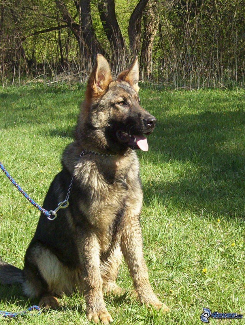 Schäferhund, Halsband, Hund auf dem Gras