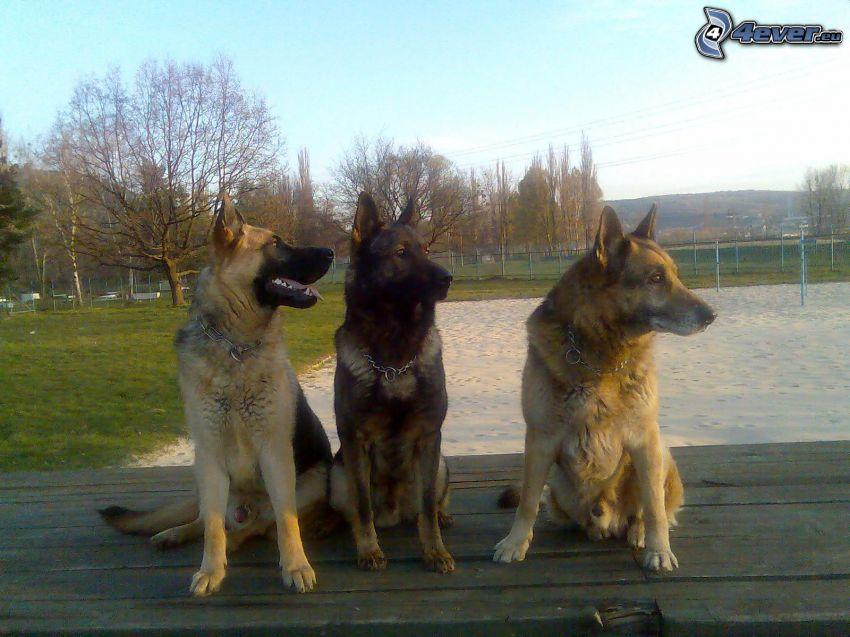 Schäferhund, Spielplatz