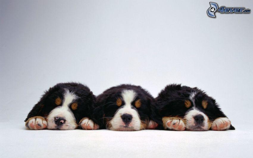 schlafende Welpen, Berner Sennenhund