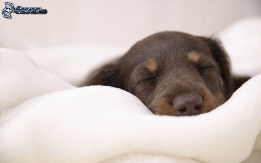 schlafender Welpe, schläfriger Dachshund