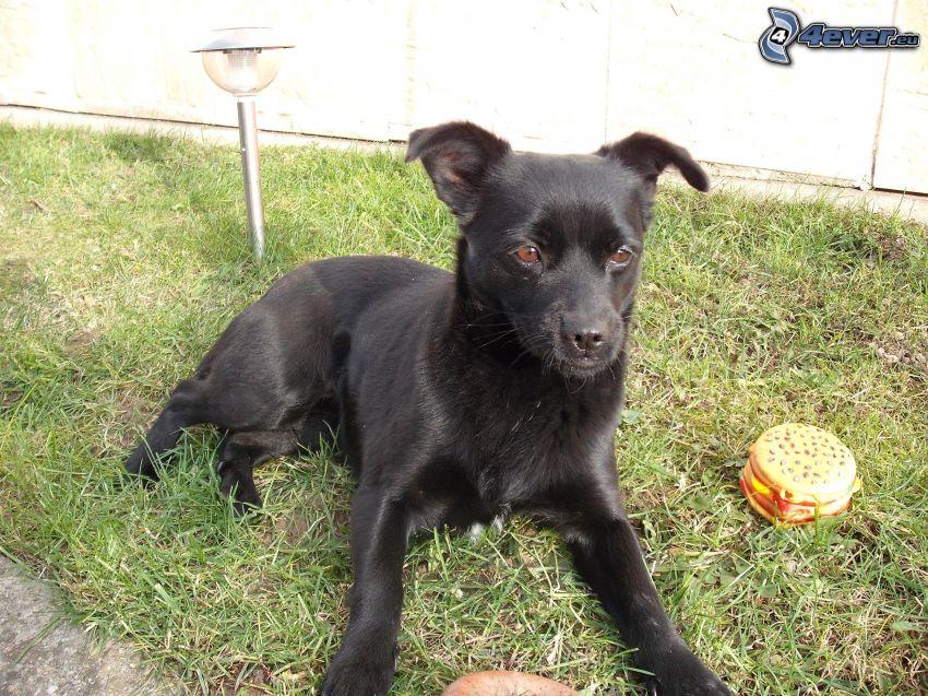 schwarzer Hund, hamburger, Gras, Spielzeug