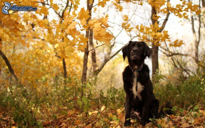 schwarzer Hund, herbstlicher Wald