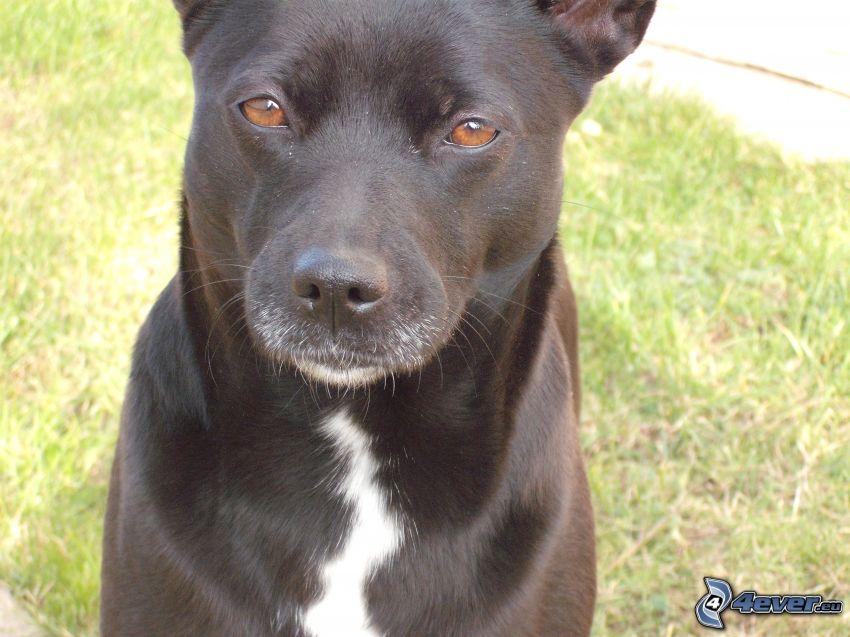 schwarzer Hund, Hund auf dem Gras