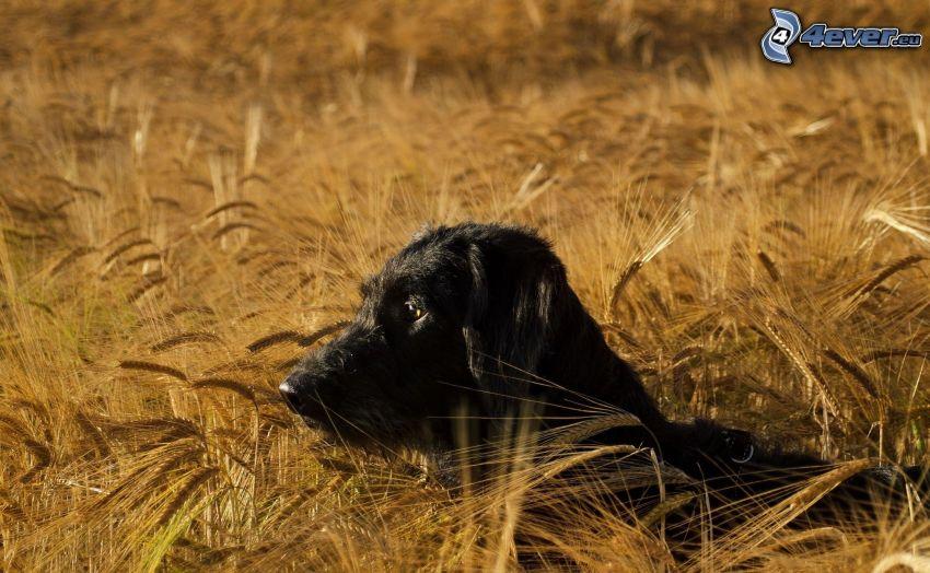 schwarzer Hund, Weizen